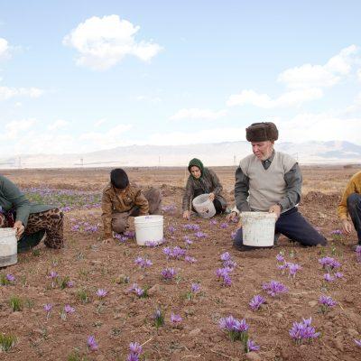 Eine iranische Familie pfluckt Safranblüten auf der eigenen Plantage. Torbat ist eine Stadt in der Provinz Khorasan und ist bekannt für Safranplantagen.