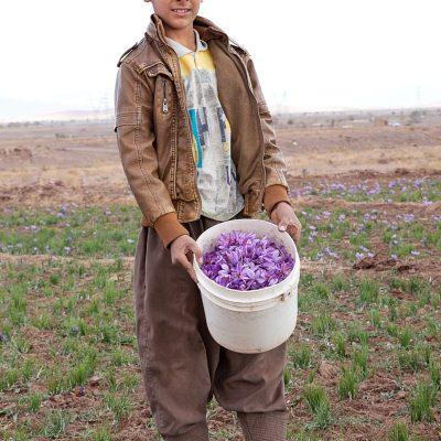 Dieser Junge hilft seine Familie bei der Safranernte in Torbat.