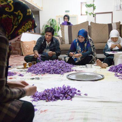 Da die Safranblüten schnell verwelcken, müssen die Safranfäden sofort nach der Ernte aus der Blüte gezogen werden.