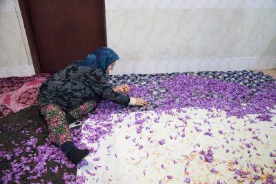 Eine Frau beim Sammeln der Safranfäden, nachdem sie aus den Blüten gezogen wurden.