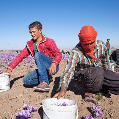 In der Safranerntezeit arbeiten viele Frauen und Männer, die nicht eigene Felder haben, für andere Bauern. Erntehelfer auf der Safranplantage in Dorf Talkhebakhsh.